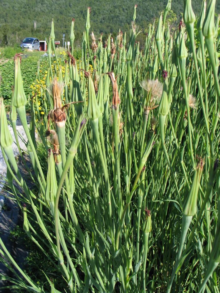 havrerot - hardfør og fin blomsterplante