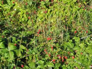 markjordbær - namnam