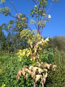 den eneste kvannplanten i år